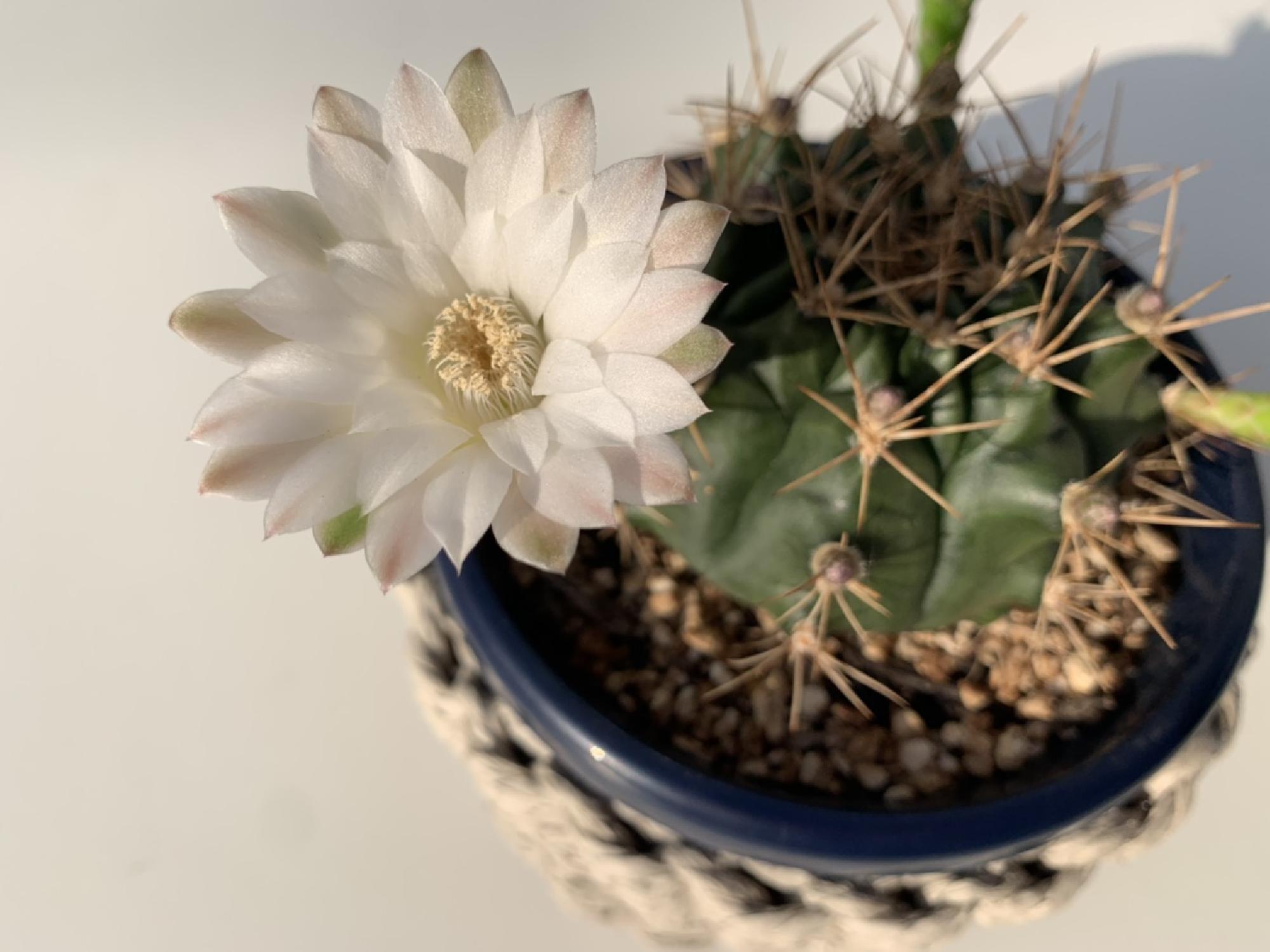 サボテンの花が咲きました_画像_1