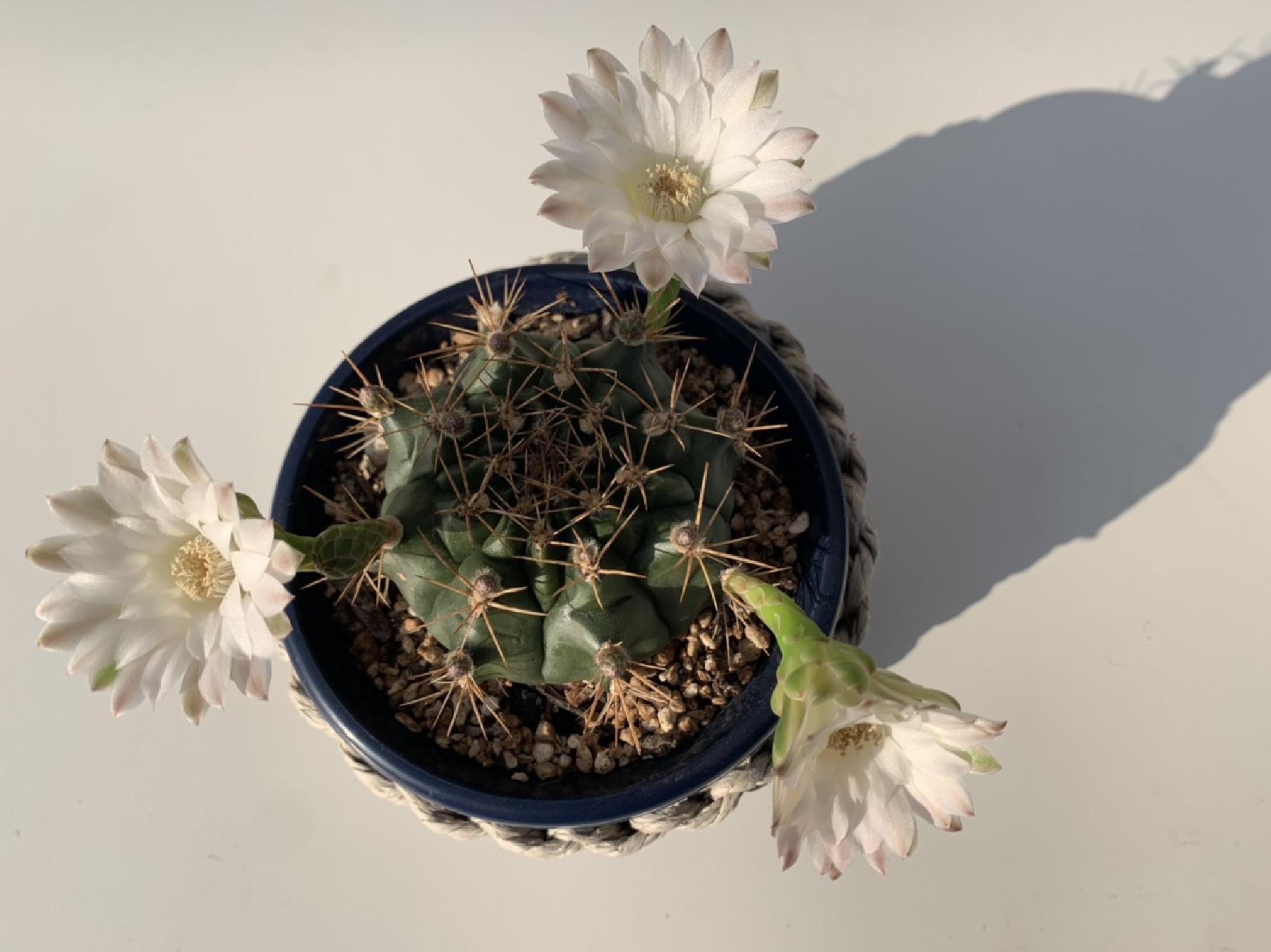 サボテンの花が咲きました_画像