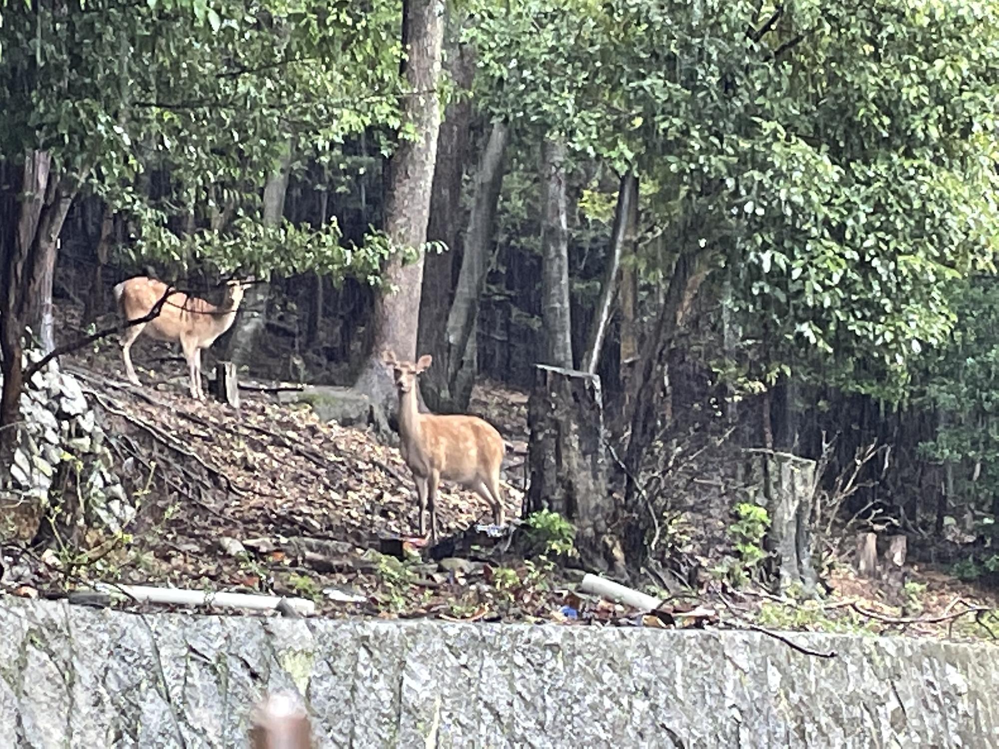京都市左京区で鹿を発見!
