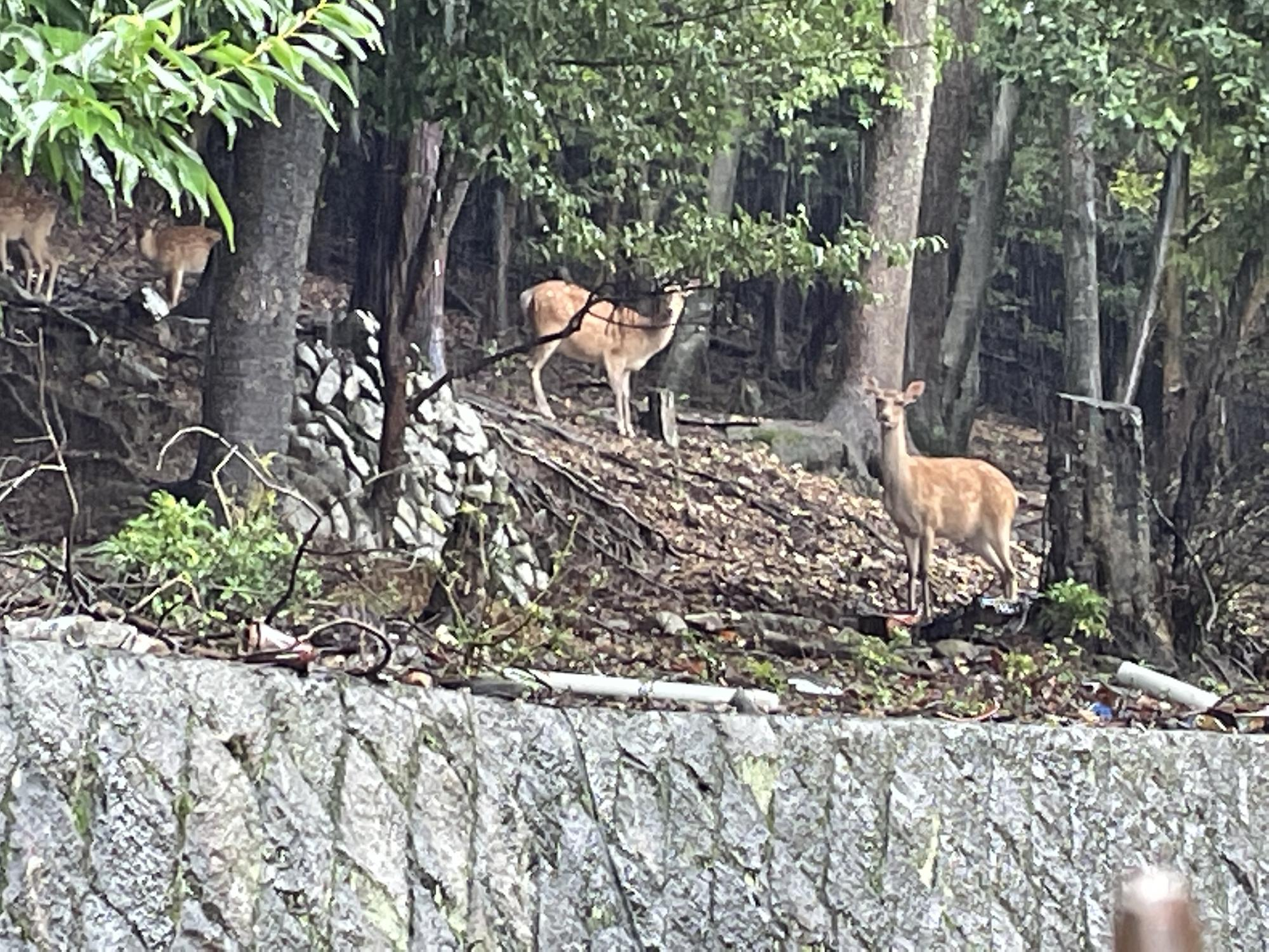京都市左京区で鹿を発見!_画像